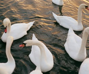 theme, Swan, and animal image