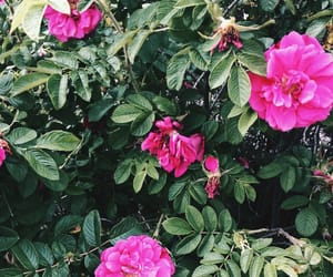 nature, roses, and summer image