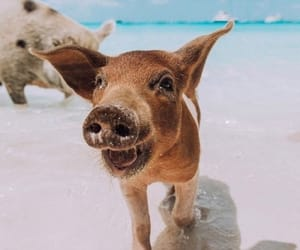 pig, animal, and happy image