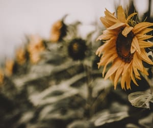 flowers, plants, and sunflower image