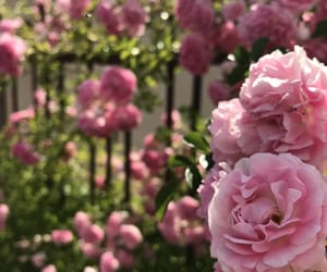 flowers, pink, and rosses image