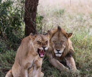 lion, roi, and lionne image