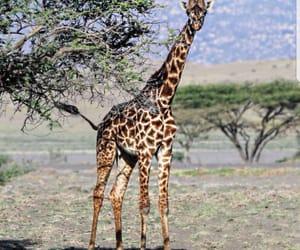 Girafe, animaux, and tanzanie image