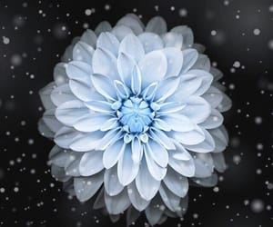 wallpaper, flower, and blue image