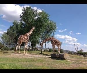 safari and jirafas image
