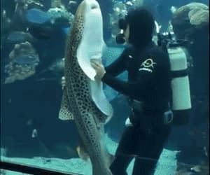gif, zebra shark, and belly rubs for the shark image