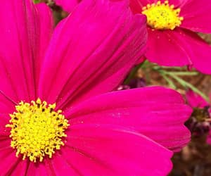 pink, pink and yellow, and flowers image