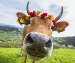 beautiful and cow image