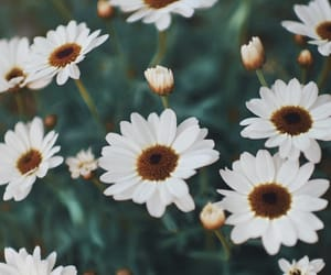 wallpaper, daisy, and flowers image