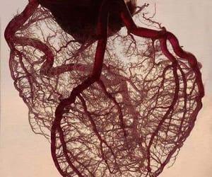 anatomy and heart image