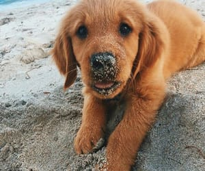cute puppy, golden retriever, and puppies image