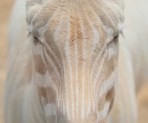 zebra, animal, and white image