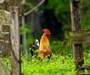 🐓 and 🐔 image