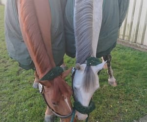 chestnut, equestrian, and grey image