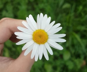 daisy, green, and nature image