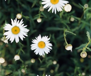 chamomile and summer image
