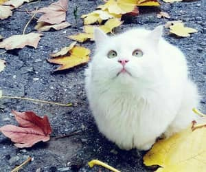 white cat, pisik, and kedi image