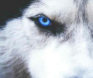 husky, dog, and blue image