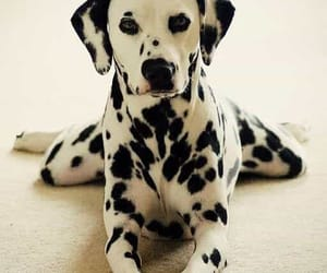 dog, dalmatian, and animal image