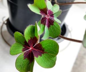 trevo, trevo de quatro folhas, and sorte image