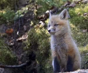 fox, tumblr, and nature image