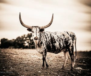 etsy, livestock, and texas longhorn image