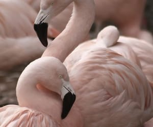 aesthetic, animals, and flamingos image