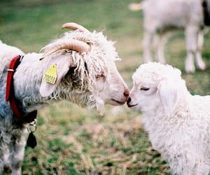 animal, sheep, and goat image