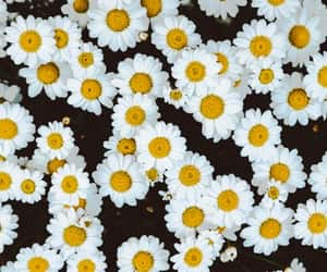 flowers, daisy, and floral image