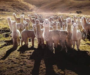 animals, llama, and andean mountains image