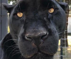 animal, beautiful, and black image