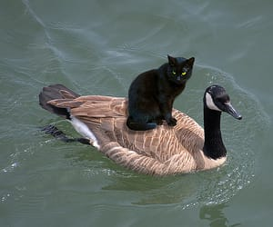 cat, duck, and animal image