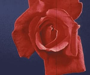 gif, rose, and red image