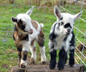 goat and kids image