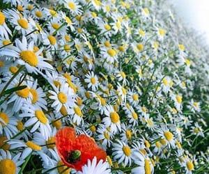 belleza, margaritas, and primavera image