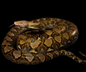 animal, python, and reptile image