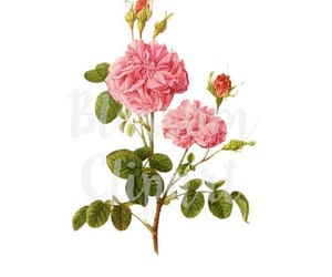 antique rose, digital download, and flower clipart image