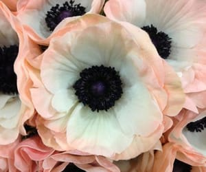 anemones, background, and flower image