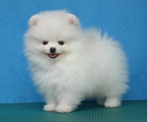 dog, white, and pomeranian image