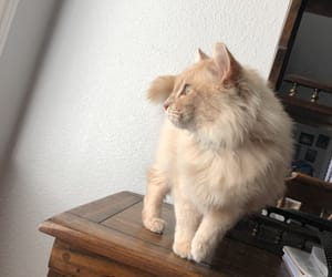 cat, beige, and brown image