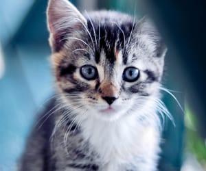 animali, beautiful, and cat image