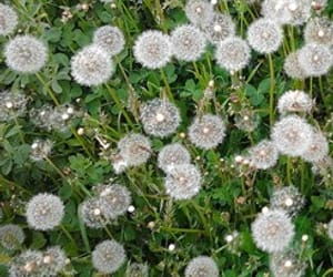 dandelion and flowers image