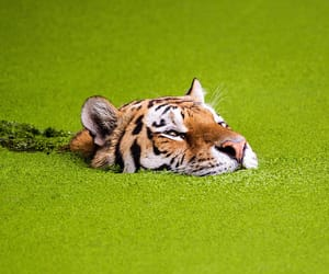 tiger, no roots, and chlorophyll image