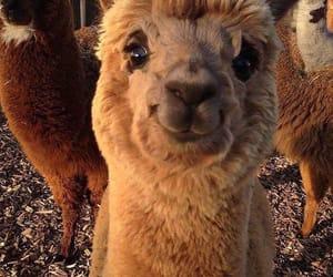 alpaca and cute image