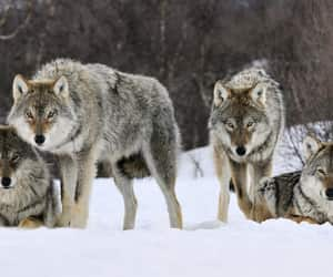 animal, mammal, and wolf image