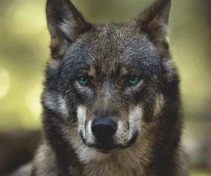wolf, nature, and wild image
