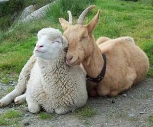 animal, goat, and sheep image