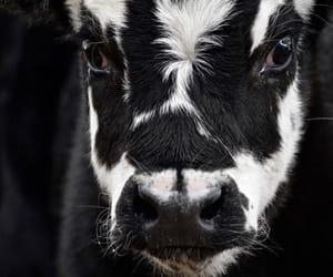 animals, farm, and blanco y negro image