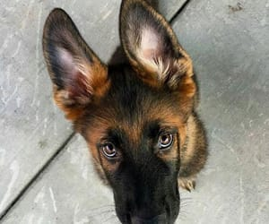 dog, puppy, and germanshepard image