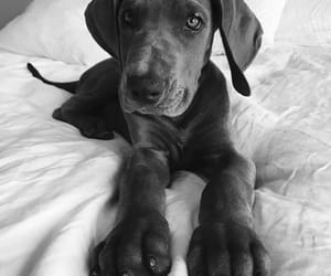 adorable, furry, and great dane image